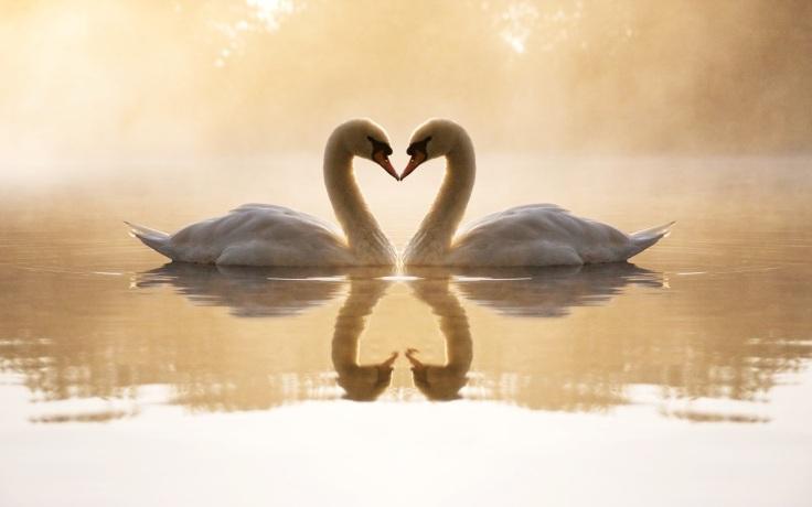 Love-Swans-Wallpaper